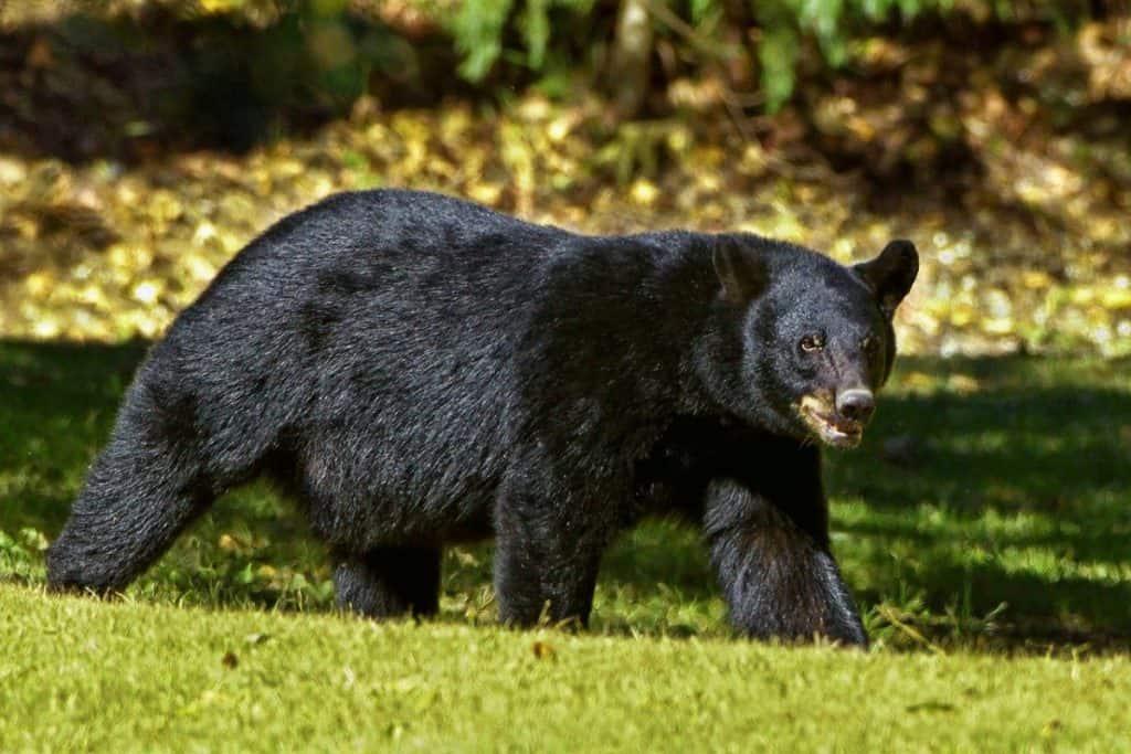 black bear on the prowl