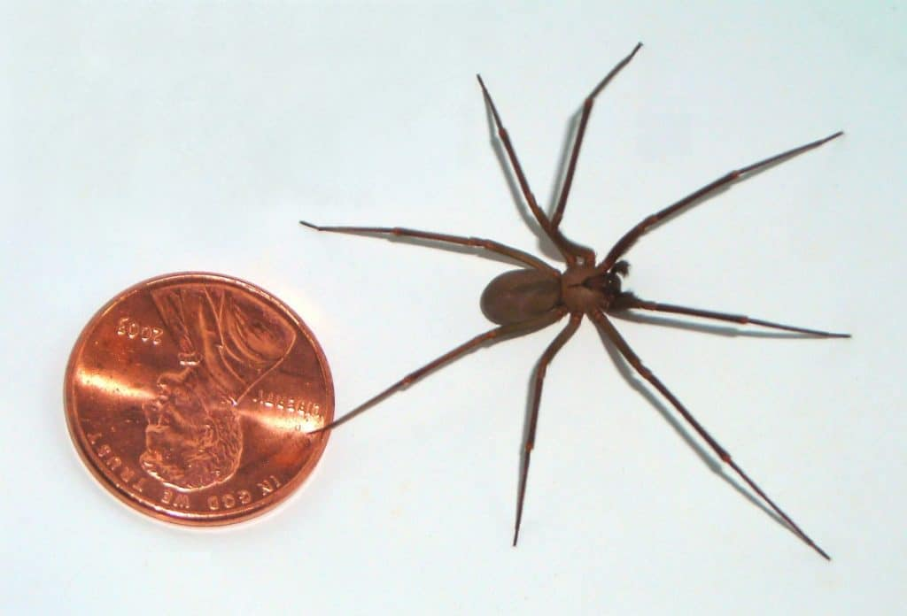 brown recluse spider by penny