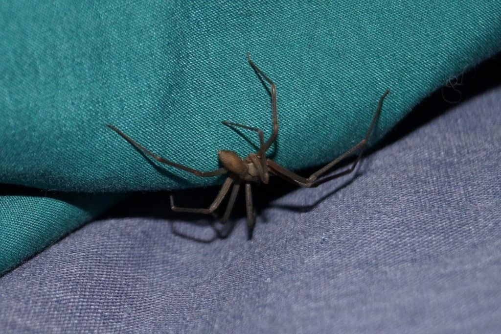 brown recluse on blue jean cloth