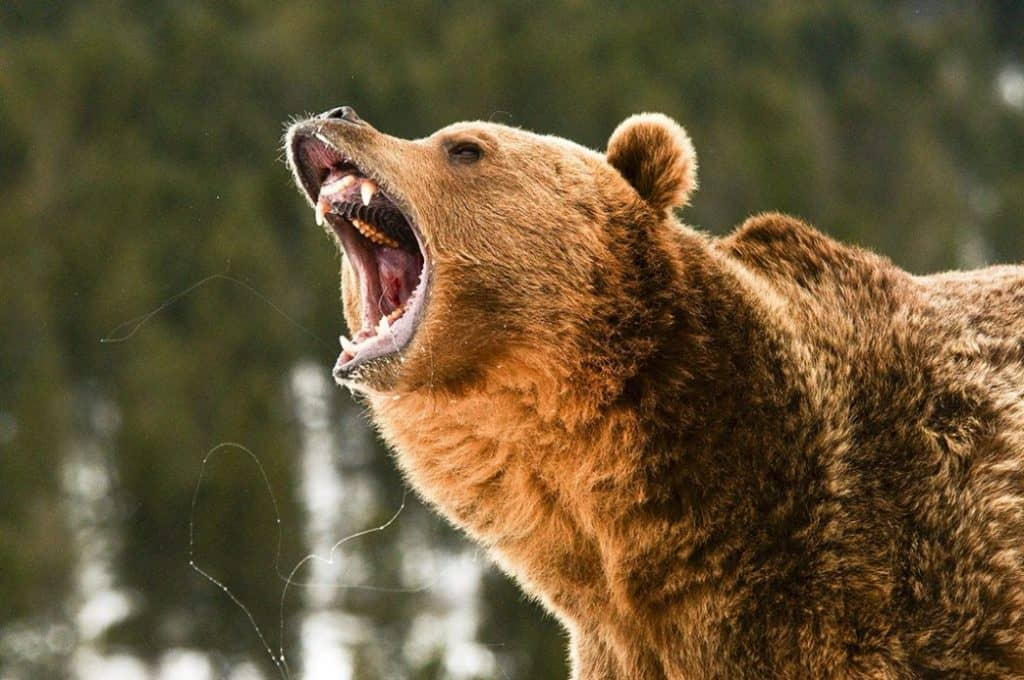 grizzly bear roaring in woods