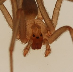 close up brown recluse spider