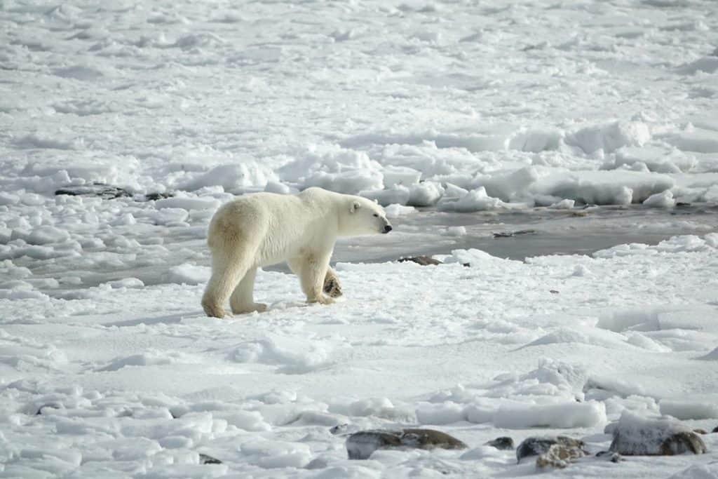 polar bear hunting in Arctic