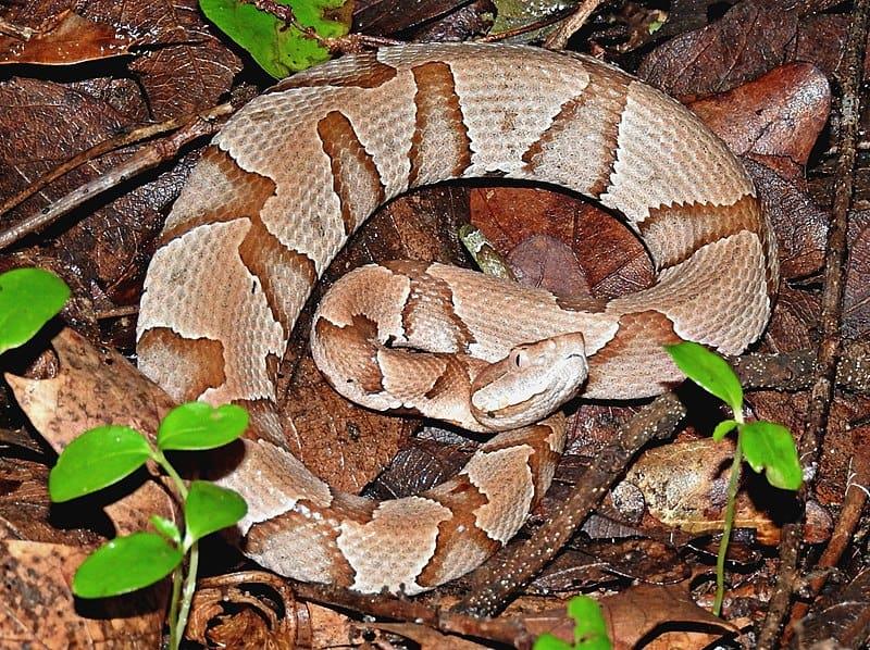light colored copperhead